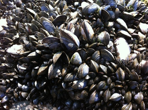 Mussels 262444 960 720